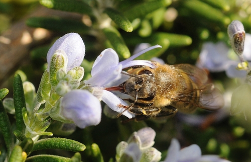 Industrious honey bee