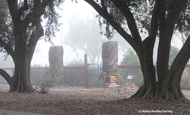 Beneath these weather-protective tarps: bee-box pillars. (Photo by Kathy Keatley Garvey