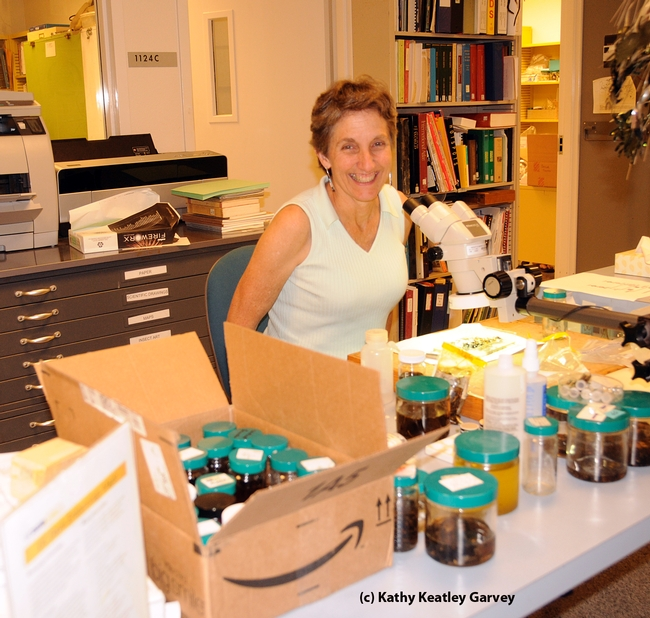 Lynn Kimsey, director of the Bohart Museum of Entomology, in her habitat. (Photo by Kathy Keatley Garvey)