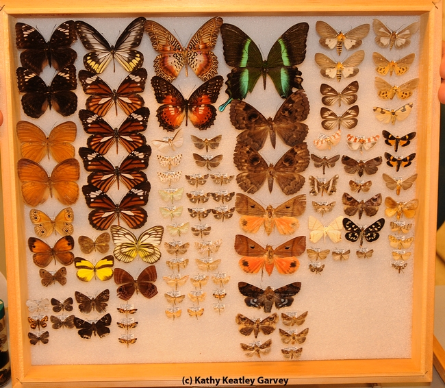 Butterflies collected from Indonesia. (Photo by Kathy Keatley Garvey)