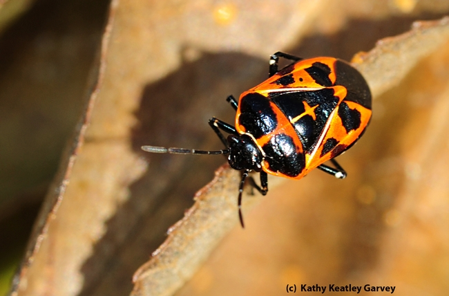 Harlequin bug wandering around on passion flower vine. (Photo by Kathy Keatley Garvey)