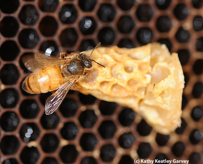 Queen bee emerging. Beekeepers know the sound of a queen bee piping.  (Photo by Kathy Keatley Garvey)