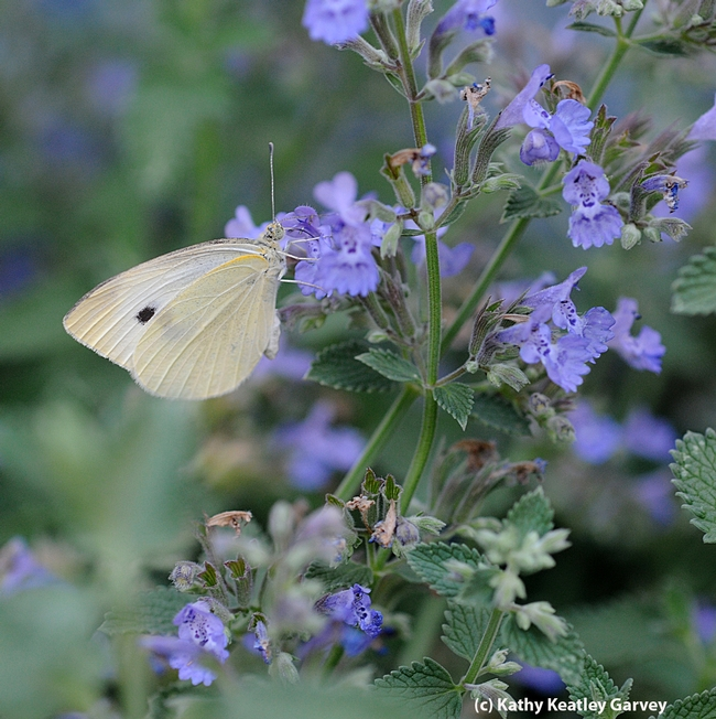 Cabbage white butterfly, Pieris rapae, nectaring on catmint. (Photo by Kathy Keatley Garvey)