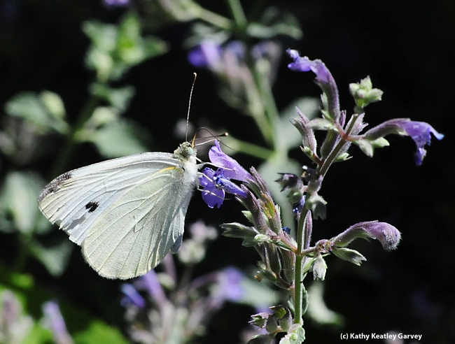Close-up of cabbage white butterfly in mid-2012. (Photo by Kathy Keatley Garvey)
