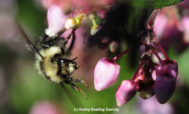 A queen black-tailed bumble bee, Bombus melanopygus, heading for manzanita blossoms. (Photo by Kathy Keatley Garvey)