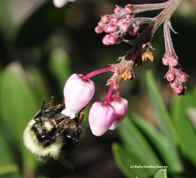 Long tongue of the queen bumble bee, Bombus melanopygus, sipping nectar from manzanita. (Photo by Kathy Keatley Garvey)