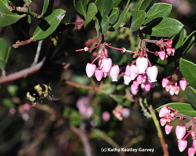 Queen bumble bee, Bombus melanopygus, in flight. (Photo by Kathy Keatley Garvey)