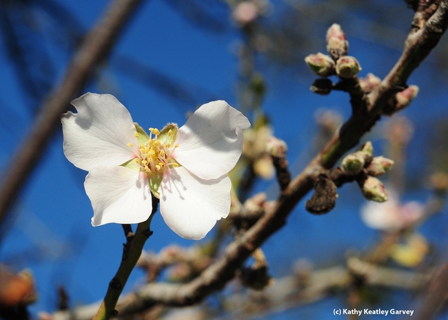 Almond tree blooming on Jan. 1, 2013 in Benicia. (Photo by Kathy Keatley Garvey)