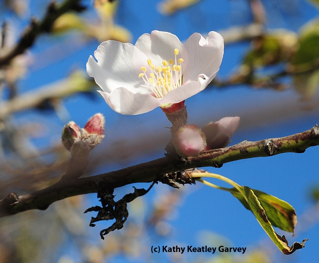 Almond blossom poking through the Benicia State Recreation Area fence. (Photo by Kathy Keatley Garvey)