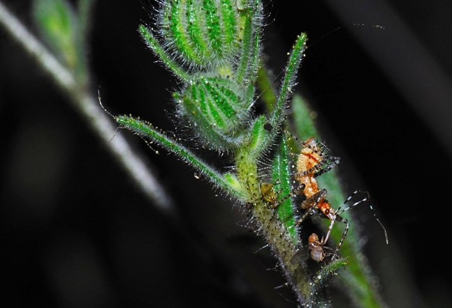 Assassin bug. Pselliopus spinicollis, feeding on dead Drosophila. (Photo by Sam Beck)