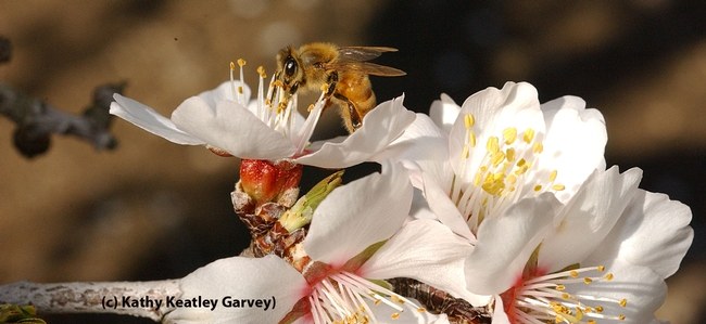 Honey bee visiting an almond blossom in Arbuckle. (Photo by Kathy Keatley Garvey)