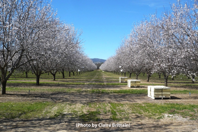Almond orchard in Capay Valley, Yolo County. (Photo by Claire Brittain)
