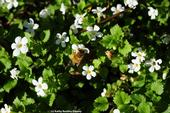 Honey bee foraging in bacopa on grounds of the Benicia Capitol State Historic Park. (Photo by Kathy Keatley Garvey)