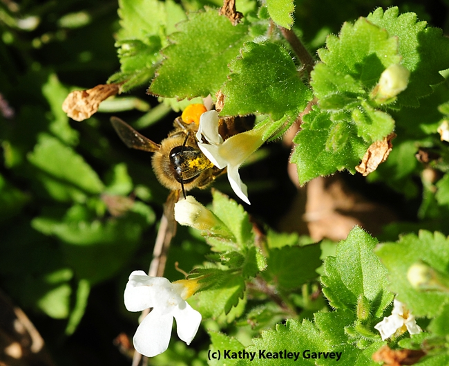 Pollen-covered Benicia bee on bacopa. (Photo by Kathy Keatley Garvey)