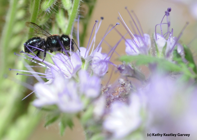 The blue orchard bee or BOB (Osmia) is being studied as an alternative pollinator. (Photo by Kathy Keatley Garvey)