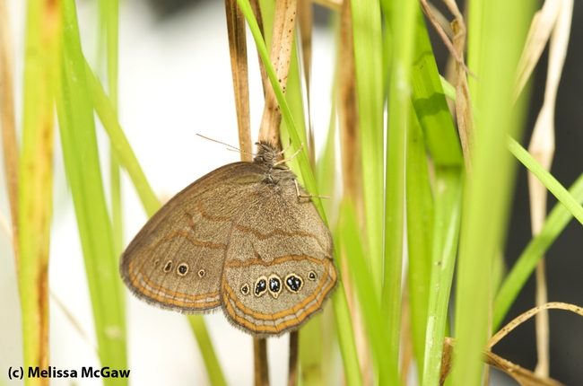 Saint Francis satyr (Neonympha mitchellii francisci). (Photo by Melissa McGaw)