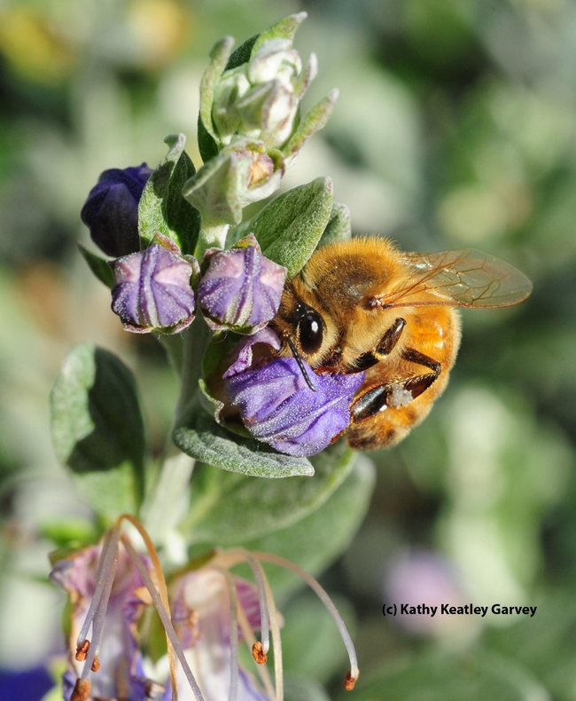 Honey bee foraging in bush germander. (Photo by Kathy Keatley Garvey)