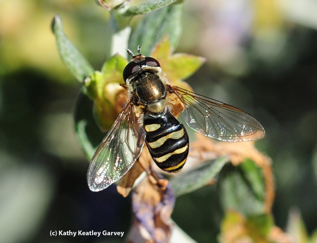 Syrphid fly, aka flower fly or hover fly, visiting germander. (Photo by Kathy Keatley Garvey)