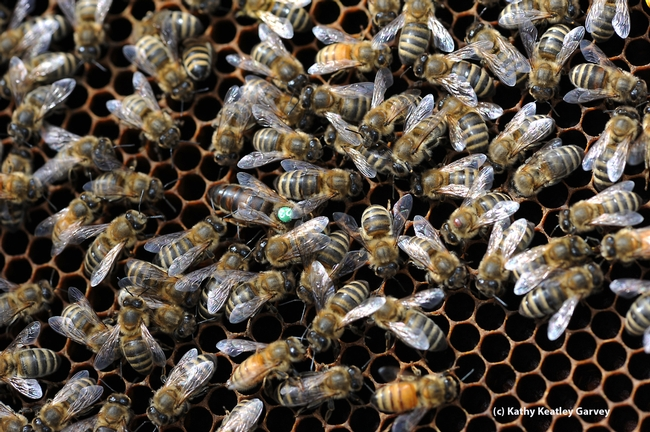 Queen bee and her workers. A Varroa mite is on the head of a bee at right of this photo. (Photo by Kathy Keatley Garvey)