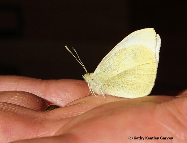 This is the cabbage white butterfly that Art Shapiro collected on President Obama's Inauguration Day, Jan. 21. (Photo by Kathy Keatley Garvey)