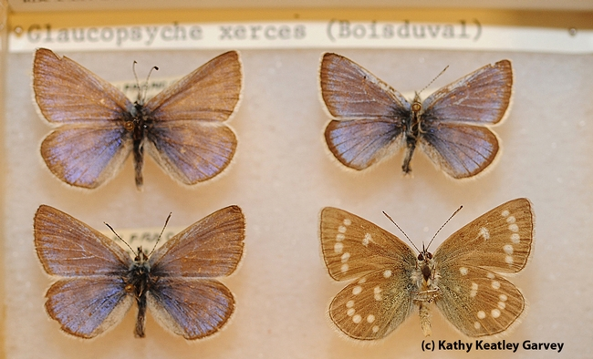 These Bohart Museum of Entomology specimens are Xerces Blue butterflies, Glaucopsyche xerces, (extinct). The museum has Xerces t-shirts for sale. (Photo by Kathy Keatley Garvey)