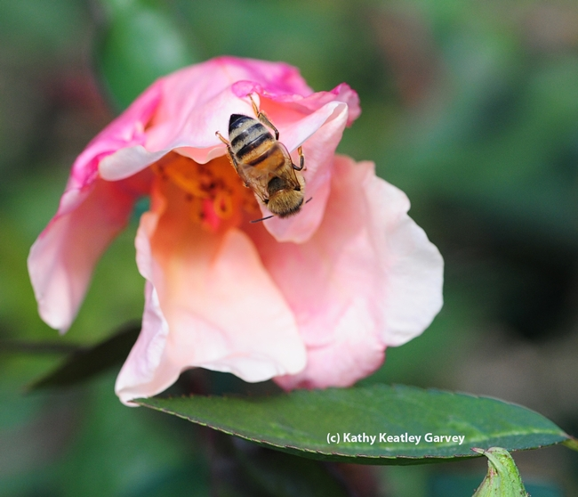 A honey bee checking out a butterfly rose. (Photo by Kathy Keatley Garvey)