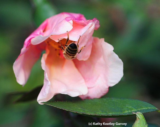 Honey bee dives between the folds. (Photo by Kathy Keatley Garvey)