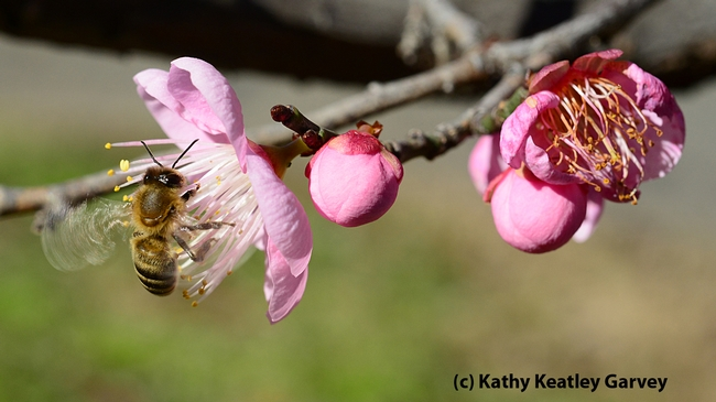 Wings buzzing, a bee forages in an apricot blossom. (Photo by Kathy Keatley Garvey)