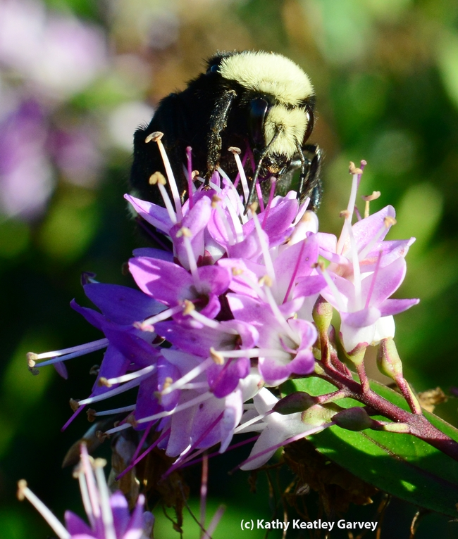 Queen bumble bee nectaring a hebe at the Berkeley marina. (Photo by Kathy Keatley Garvey)
