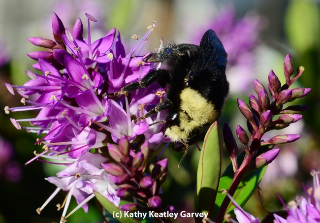 Queen bumble bee is aglow in the afternoon sun. (Photo by Kathy Keatley Garvey)