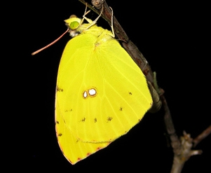California dogface butterfly. (Photo by Greg Kareofelas)