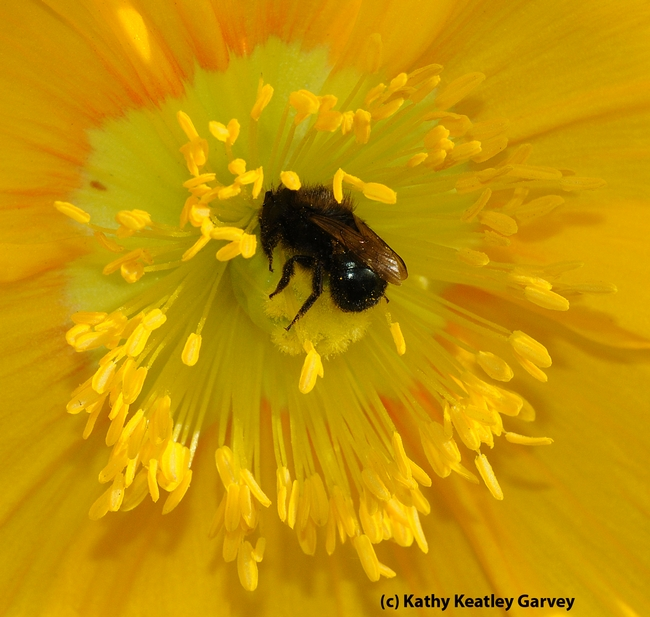 Female mason bee, genus Osmia (Family Megachilidae), as identified by native pollinator specialist/emeritus professor Robbin Thorp of UC Davis. (Photo by Kathy Keatley Garvey)