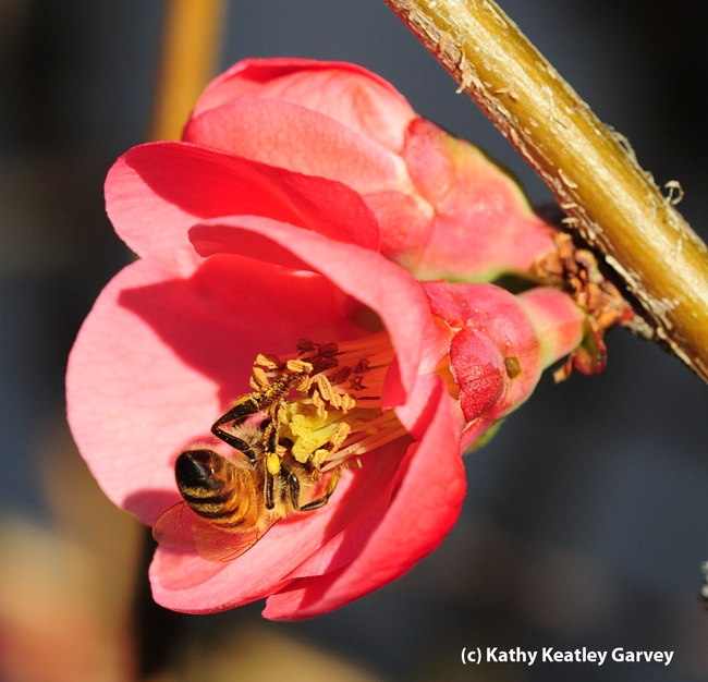 An upside-down bee in the flowering quince. (Photo by Kathy Keatley Garvey)