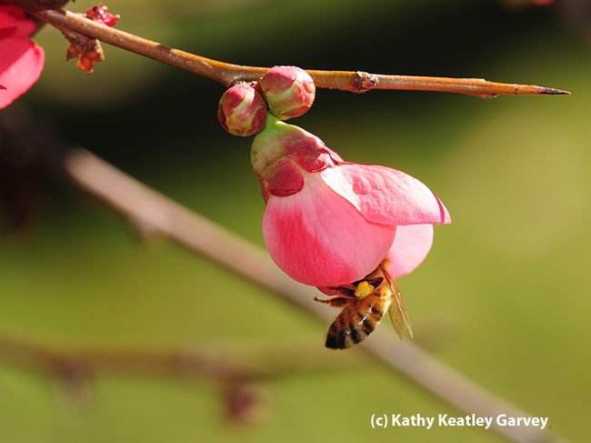 Pollen-packing honey bee inside a flowering quince bud. (Photo by Kathy Keatley Garvey)