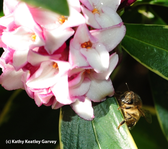 Table for one, please! A honey bee in the shadows of a daphne bloom at the Storer Garden, UC Davis. (Photo by Kathy Keatley Garvey)