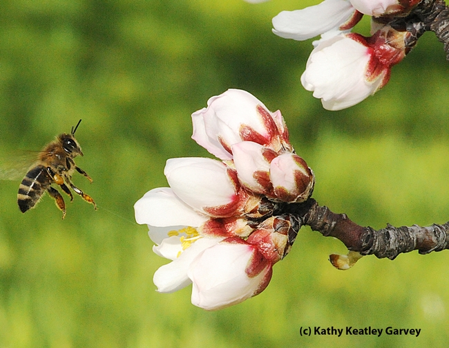 Honey bee heading toward an almond blossom. (Photo by Kathy Keatley Garvey)