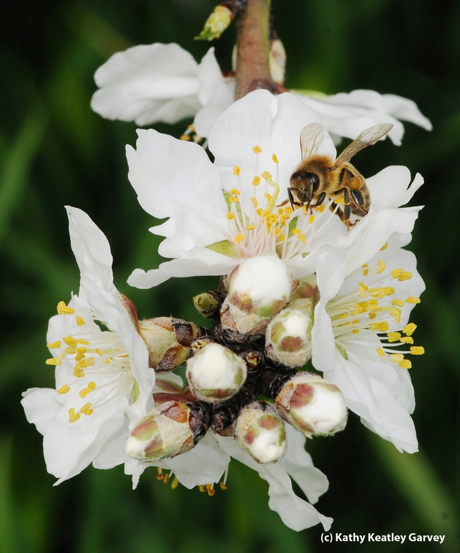 Honey bee foraging on an almond blossom. (Photo by Kathy Keatley Garvey)