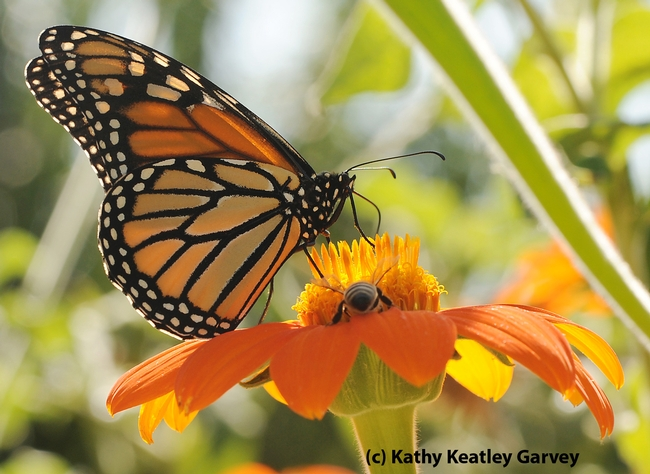 Monarch butterflly shares a Tithonia (Mexican sunflower) with a honey bee at the Haagen Dazs Honey Bee Haven, UC Davis, last summer.  (Photo by Kathy Keatley Garvey)