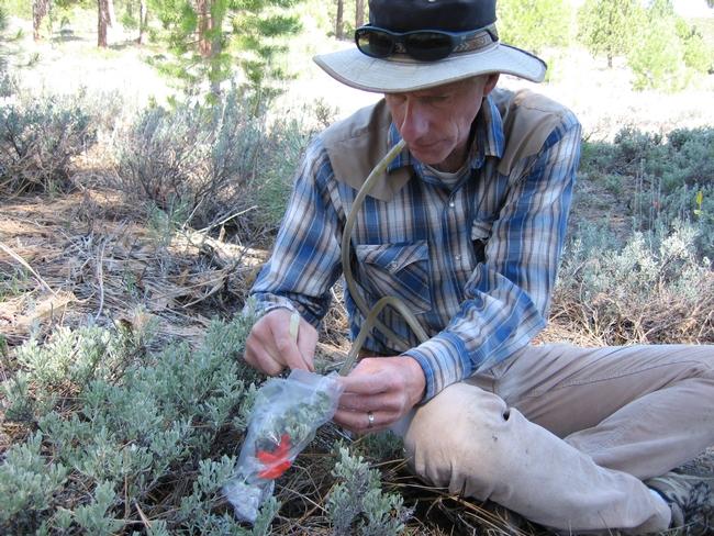 Rick Karban collecting volatile (chemical) cues.