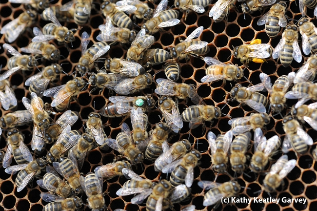 Another queen bee in the Harry H. Laidlaw Jr. Honey Bee Research Facility. (Photo by Kathy Keatley Garvey)