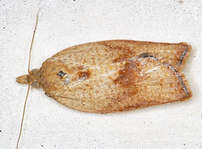 Female light brown apple moth, Epiphyas postvittana. (Photo courtesy of David Williams, principal scientist, Perennial Horticulture, Department of Primary Industries, Victoria, Australia.)
