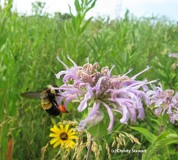 This photo of the rusty-patched bumble bee is the 2012 work of Christy Stewart at the Pheasant Branch Conservancy in Wisconsin.