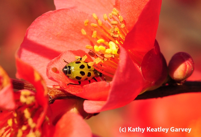 Spotted cucumber beetle inside flowering quince blossom. (Photo by Kathy Keatley Garvey)