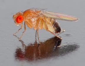 Drosophila melanogaster. Wikipedia image by André Karwath.