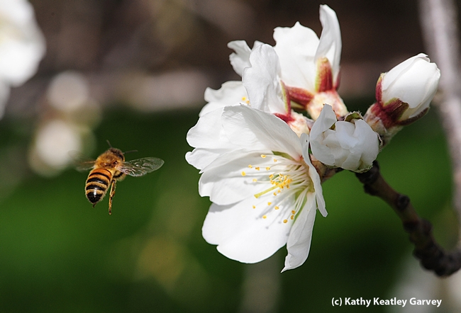 Honey bee heading toward almonds blossoms on Bee Biology Road, UC Davis. (Photo by Kathy Keatley Garvey)
