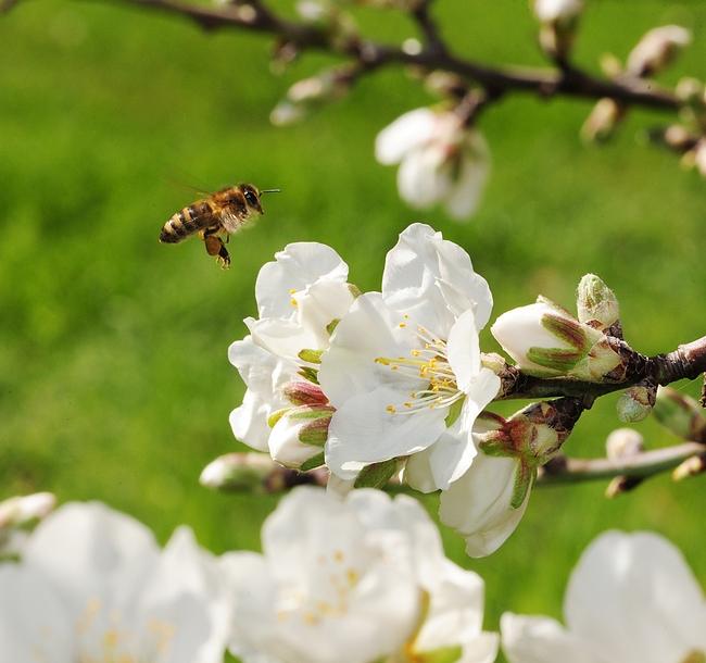 Honey bee, packing pollen, in mid-flight. (Photo by Kathy Keatley Garvey)