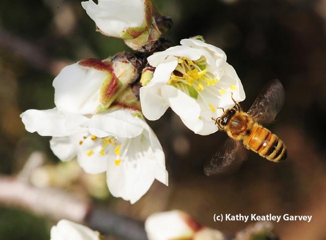 A blur of bee wings.  (Photo by Kathy Keatley Garvey)