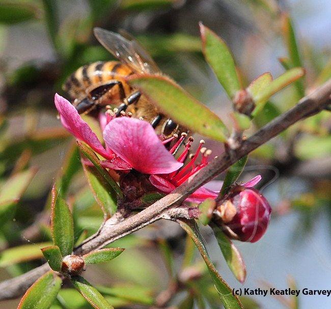 Honey bee on a New Zealand tea tree, Leptospermum scoparium keatleyi. (Photo by Kathy Keatley Garvey)