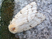 Female adult gypsy moth. (Courtesy of Wikipedia)