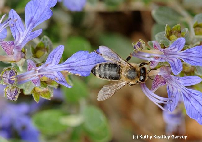 A honey bee navigating an azure bush germander. (Photo by Kathy Keatley Garvey)